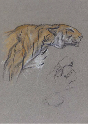 Study of a stalking tiger