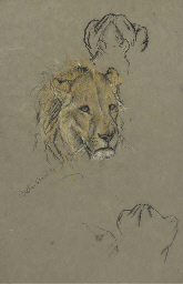Study of a lioness