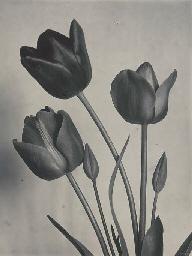 Tulips Darwin, circa 1900