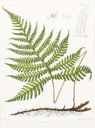 The Ferns of North America: Ei
