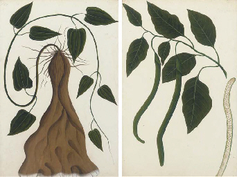 TWO BOTANICAL STUDIES, BY A CA