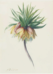 Fritillaria imperialis (Crown