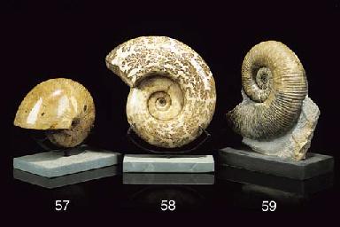 A polished lytoceras (ammonite