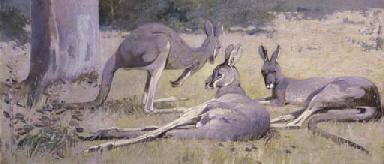 Three Grey Kangaroos