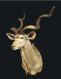 A FINE GREATER KUDU HEAD