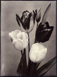 Single Tulips Mixed, c.1900