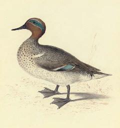 Study of a teal