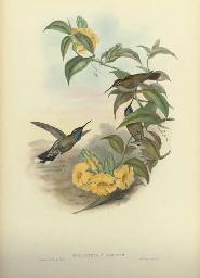 Campylopterus Lazulus; Chrysol