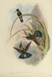 Petasophora Iolata; Doricha Ly