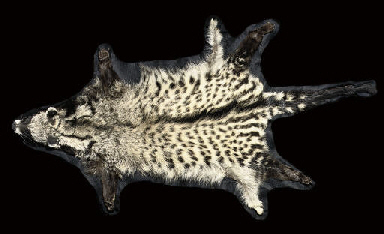 A CIVET CAT SKIN WITH FULL MOU