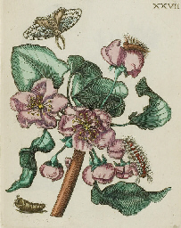 MERIAN, Maria Sibylla (1647-17