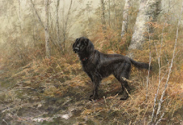 A flat-coated retriever on a w