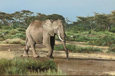 Bull elephant, Amboseli Game R