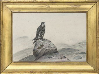 Peregrine falcon on a rocky ou