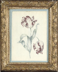 Study of a tulip