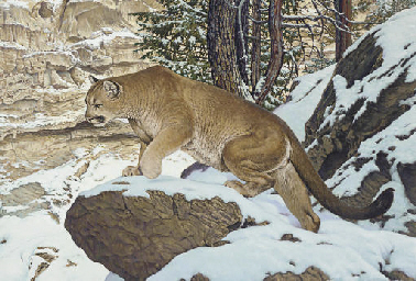Cougar in Antimony Canyon, Uta