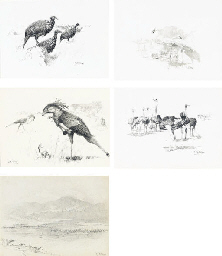 Vulturine Guinea-Fowl; Masai O