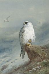A Greenland falcon