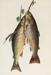 Two brown trout