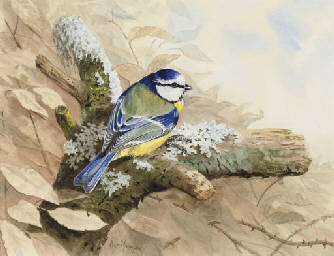 Study of a blue tit