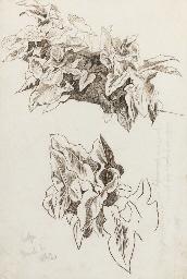 Study of Ivy, Corfu