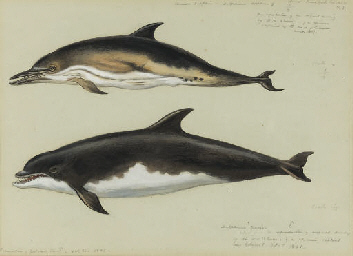 Common Dolphin and Bottlenose