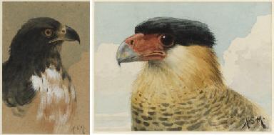 A Peregrine Falcon; An Imperia