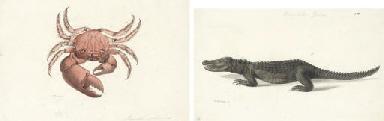 A crocodile (crocodilius javie