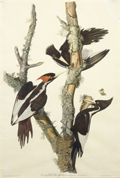 Ivory-billed Woodpecker (Plate