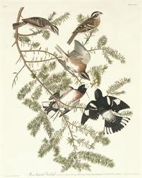 Rose-breasted Grosbeak (Plate