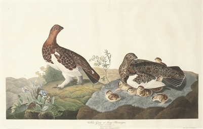 Willow Grous or Large Ptarmiga