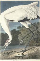 Hooping Crane (Plate CCXXVI) G