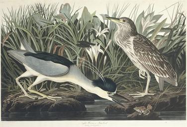 Night Heron or Qua bird (CCXXX