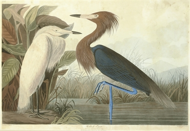 Reddish Egret (Plate CCLVI) Ad