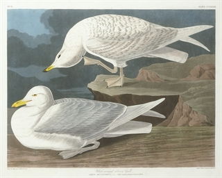 White-winged Silvery Gull (Pla