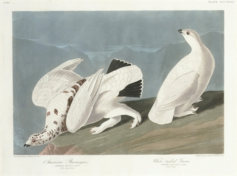 American Ptarmigan and White-t