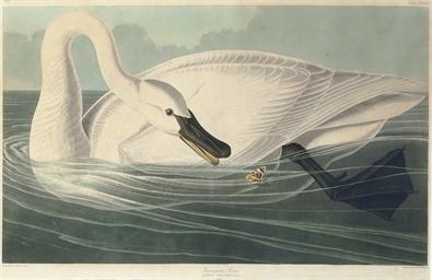 Trumpeter Swan (Plate CCCCVI)