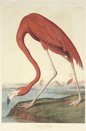 American Flamingo (Plate 375) Phoenicopterus ruber