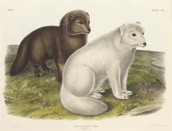 Arctic Fox, from The Viviparou