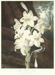 The White Lily, from The Templ