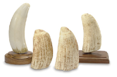 Orca Tooth for Sale http://www.christies.com/lotfinder/lot/a-group-of-four-un-polished-whales-teeth-5036690-details.aspx