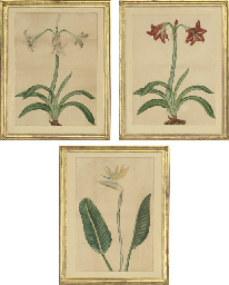 Two studies of Amaryllis and a