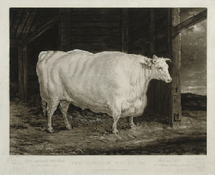 The Durham White Ox