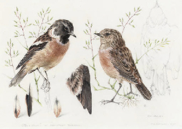 Study of a Redpoll; and Study