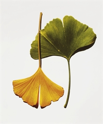 Ginkgo Leaves, New York, 1990