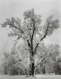 Oak Tree, Winter, Yosemite Val