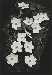 Dogwood, Yosemite Valley, 1938