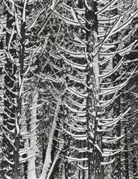 Winter, Forest Detail, Yosemit