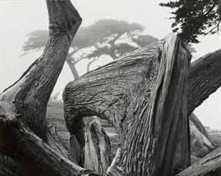 Cypress Tree in Fog, Pebble Be