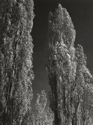 Poplars, near Bishop, Californ